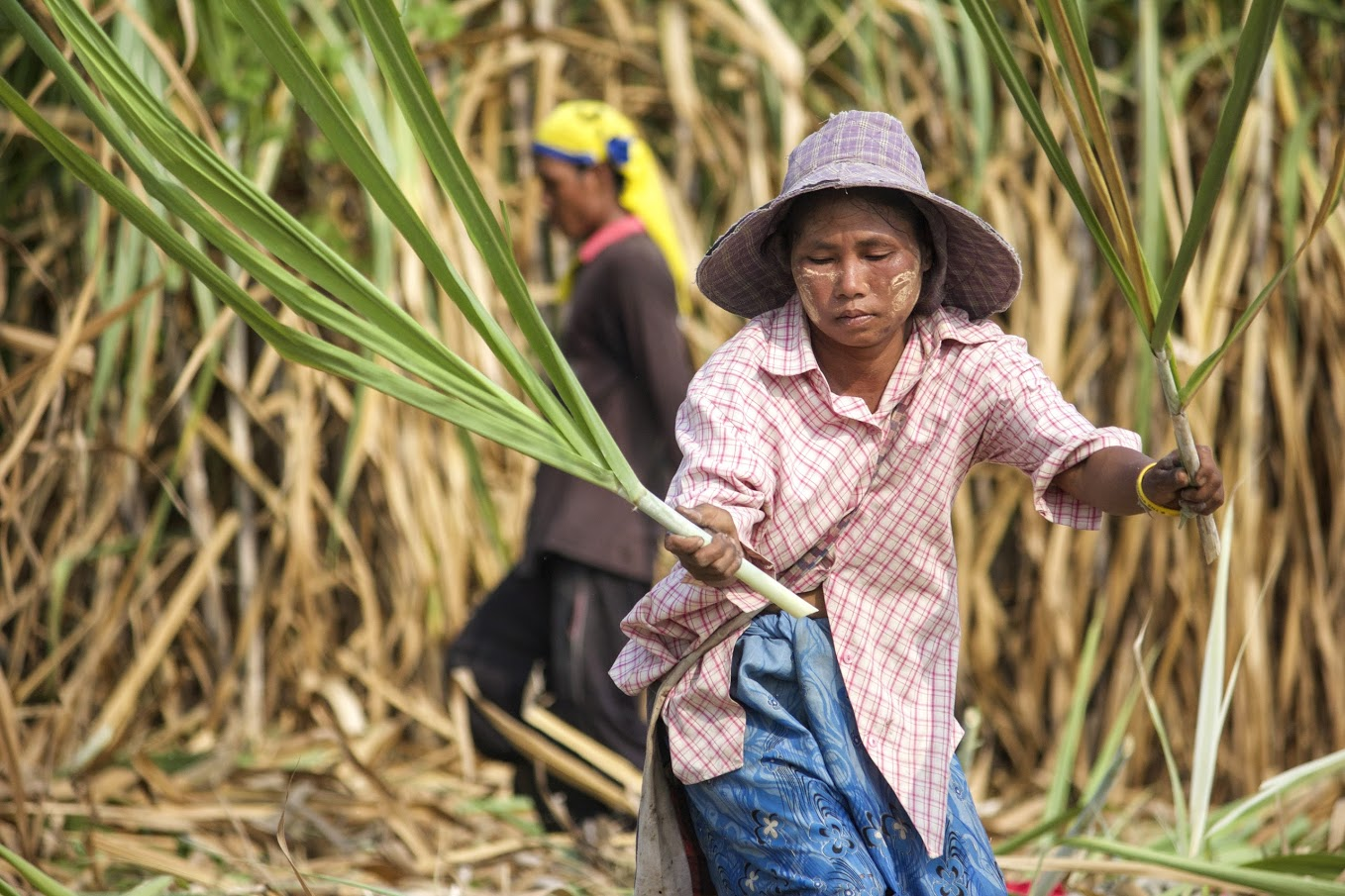 A migrant worker from Myanmar cuts sugar cane in Thailand near the border. There are many tens of millions of workers illegally crossing borders in search of economic opportunity all across the Asia-Pacific region. Their migrations may carry malaria into receptive but malaria-free areas where elimination had been achieved.